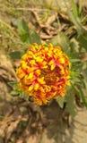 Fleurs rouges et jaunes Images libres de droits