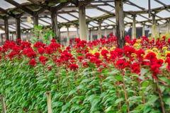 Fleurs rouges et jaunes dans un domaine Photo stock