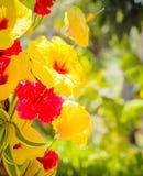 Fleurs rouges et jaunes de ketmie Images libres de droits