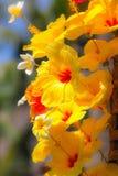 Fleurs rouges et jaunes de ketmie Image libre de droits