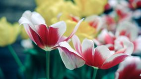 Fleurs rouges et jaunes de tulipe photos libres de droits