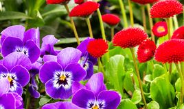 Fleurs rouges et violettes de jardin Image libre de droits
