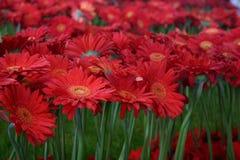 Fleurs rouges - Euroflora 2011 Image stock