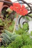 Fleurs rouges - falcata de Crassula Photo stock
