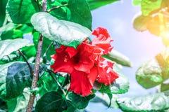 Fleurs rouges fraîches de ketmie dans le jardin Image libre de droits