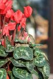 Fleurs rouges, la centrale Photographie stock libre de droits