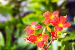 Fleurs rouges lumineuses avec le fond brouillé Image libre de droits