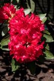Fleurs rouges lumineuses dans un jardin de ressort images stock