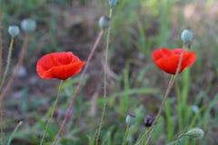 Fleurs rouges lumineuses de pavot au printemps étroites Image libre de droits