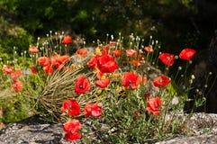Fleurs rouges lumineuses de pavot en été Photos libres de droits