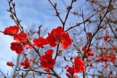 Fleurs rouges lumineuses du coing fleurissant de tête brûlée photographie stock