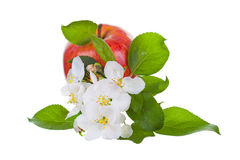 Fleurs rouges mûres de pomme et d'Apple-arbre Images libres de droits