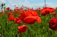 Fleurs rouges merveilleuses d'été dans l'herbe Image libre de droits