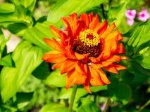 Fleurs rouges, oranges et jaunes de Zinnia Photo stock