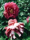 Fleurs rouges pelucheuses de pivoine en fleur photo libre de droits