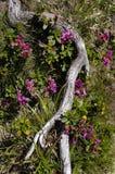 Fleurs rouges photogènes de rodendrons de montagnes images libres de droits