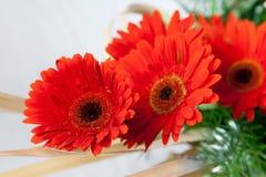Fleurs rouges rouges de marguerite Photographie stock libre de droits