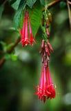 Fleurs rouges sur l'arbre blossowed, Triphylla fuchsia photos stock