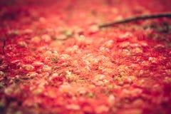 Fleurs rouges sur la terre avec le foyer sélectif en tant que fond rouge de nature dans le style rustique Photos stock