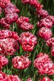 Fleurs rouges sur le plan rapproché vert de fond Photographie stock libre de droits