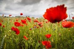 Fleurs rouges sur le pré Image libre de droits
