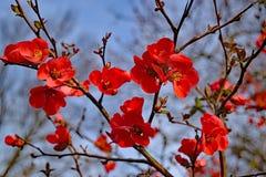 Fleurs rouges vibrantes de coing fleurissant de tête brûlée avec le ciel bleu image libre de droits
