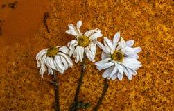 Fleurs rouillées de décomposition abstraites Images libres de droits