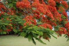 Fleurs royales de Poinciana Image stock