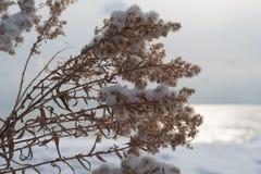 Fleurs sèches avec la neige sur le dessus en hiver sur le fond de l'eau Photographie stock libre de droits