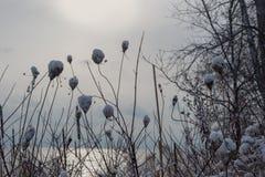 Fleurs sèches avec la neige sur le dessus en hiver sur l'eau et le fond de coucher du soleil Image stock