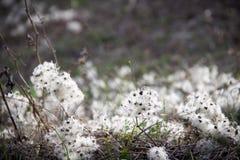 Fleurs sèches blanches dans un domaine dans le printemps Images libres de droits
