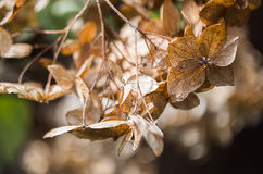 Fleurs sèches d'hortensia Photos libres de droits