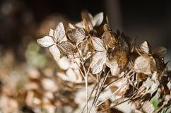 Fleurs sèches d'hortensia Images stock