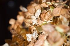 Fleurs sèches d'hortensia Images libres de droits