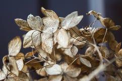 Fleurs sèches d'hortensia Photo stock