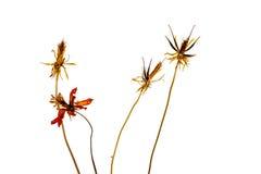 Fleurs sèches de cosmos d'isolement sur le fond blanc Photographie stock