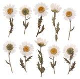 Fleurs sèches de marguerite Photo stock