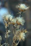 Fleurs sèches du chardon Photographie stock