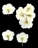 Fleurs sèches réglées de liseron Photo stock