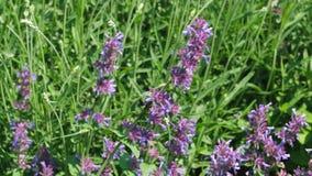 Fleurs sages d'herbe aromatique m?dicinale banque de vidéos