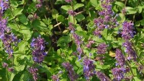 Fleurs sages d'herbe aromatique m?dicinale clips vidéos