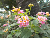 Fleurs sages rouges de camara de Lantana Photos stock