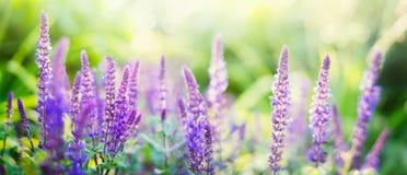 Fleurs sages sur le fond ensoleillé de jardin ou de parc, panorama Photographie stock libre de droits