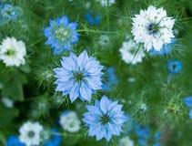 Fleurs sativa de Nigella - herbe, fleurs blanches ou roses bleues Image libre de droits