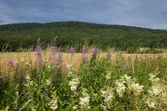 Fleurs sauvages Photographie stock libre de droits