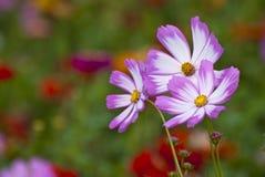 Fleurs sauvages Photos libres de droits