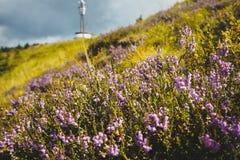 Fleurs sauvages alpestres Photo libre de droits