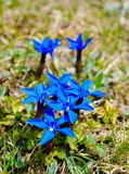 Fleurs sauvages bleues Photos libres de droits