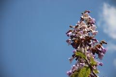 Fleurs sauvages bleues de floraison images libres de droits
