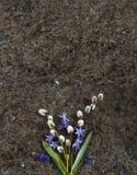 Fleurs sauvages bleues Scilla de ressort et branches de saule sur Labrador Images stock